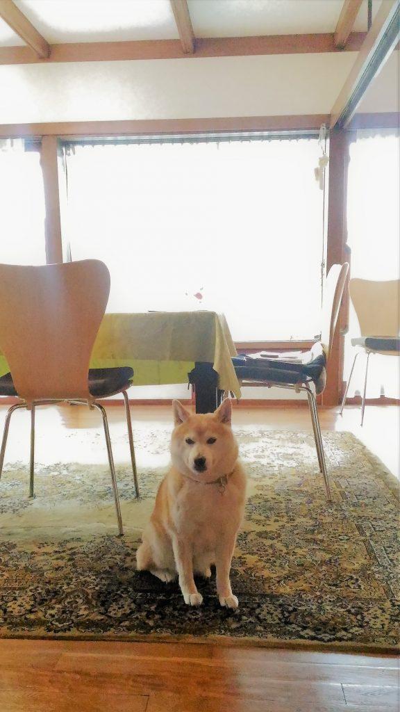 柴犬の京ちゃん