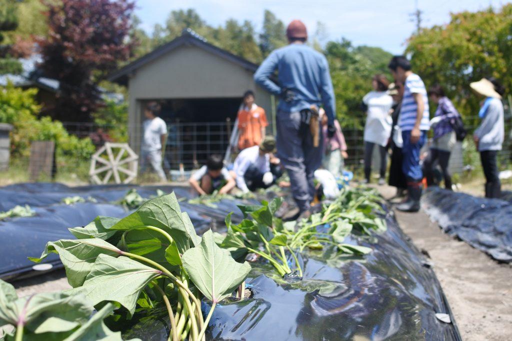 サツマイモ植え体験