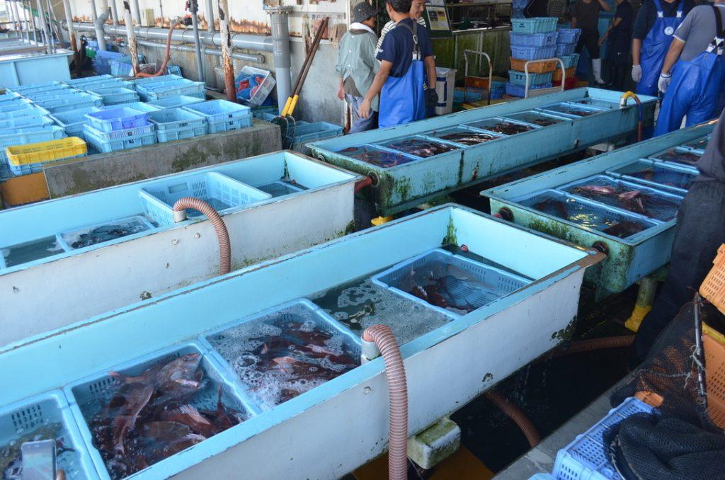 岩屋漁港では獲れたばかりの海の幸が、いけすの中でセリにかかるのを待っています